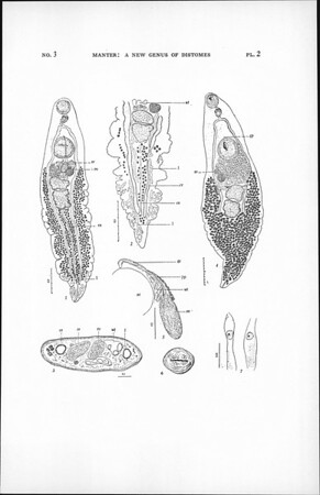 A new genus of distomes (Trematoda) with lymphatic vessels