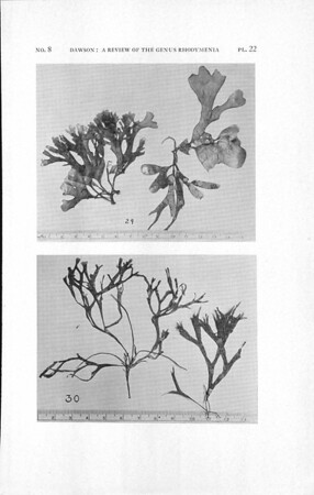 A review of the genus Rhodymenia with descriptions of new species