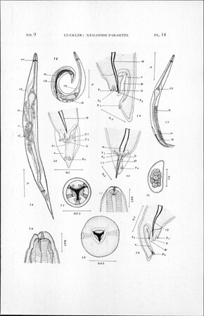 Nematode parasites of the Galapagos land iguana