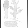 New species of Gelidium and Pterocladia from the Pacific coast of the United States and the Hawaiian Islands