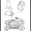 New brachyuran crabs from the Galapagos Islands