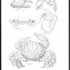 Some new species of brachyuran crabs from Mexico and the Central and South American mainland