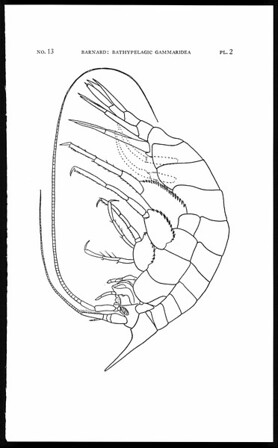 Four species of bathypelagic Gammaridea (Amphipoda) from California
