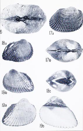 A report on the family Arcidae (Pelecypoda)