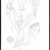 Studies of northeast Pacific Gracilariaceae