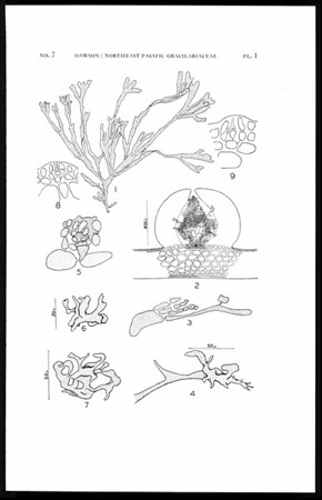 Studies of northeast Pacific Gracilariaceae