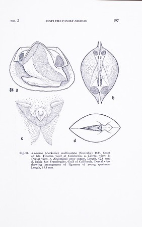 A report on the family Arcidae (Pelecypoda)
