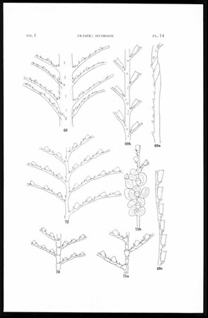 Hydroids of the 1934 Allan Hancock Pacific Expedition