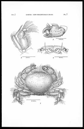 New brachyuran crabs from the Galapagos Islands
