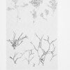 Marine red algae of Pacific Mexico. pt. 1. Bangiales to Corallinaceae Subf. Corallinoideae