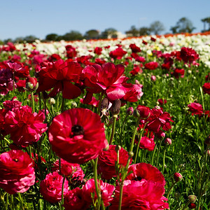Flower Fields, Carlsbad, CA