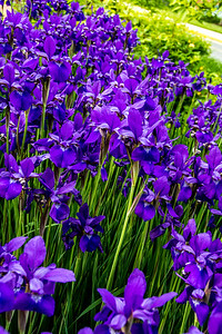 Japanese irises around front circle.