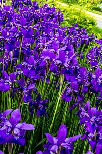 Japanese irises around front circle.