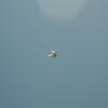 Goto's Girlie Glider-85