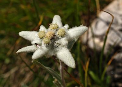 Edelweiss Cortina 27-7-07 (1)