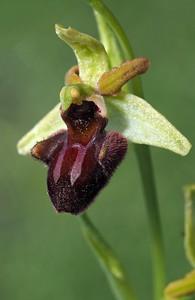 O  incubacea var  septentrionalis Crero 05-05-18 (3)