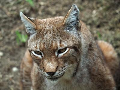 Lynx Spormagiore 10-07-18 (3)