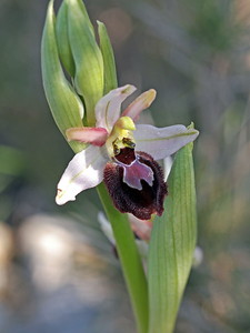 O  arachnitiformis Morgiou - Marseille 20-02-16 (11)