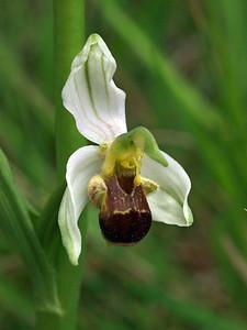 O  apifera var  bicolor 24-05-11 (5)