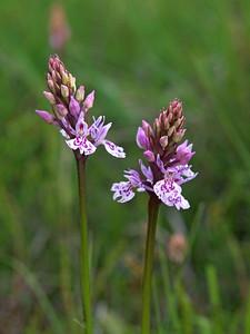 D  maculata ssp  ericetorum Havelterberg 12-06-13 (8)