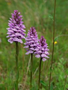 D  maculata var  ericetorum Anderse Diep 15-06-11 (6)