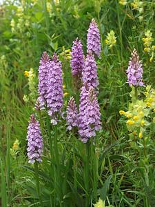 D  maculata Hoorns 18-06-11 (12)
