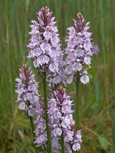 D  maculata s l  Wildervank 'Rietgors' 25-06-13 (4)