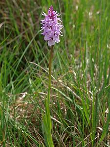 D  maculata ssp  elodes Leggelderveld 27-05-09 (7)