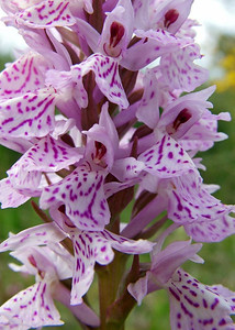 D  maculata var  ericetorum Pesse 16-6-05 (7)