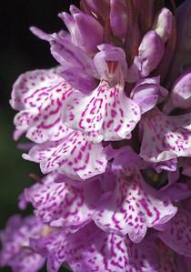 D  maculata ssp  podesta Terschelling 31-05-13 (1)