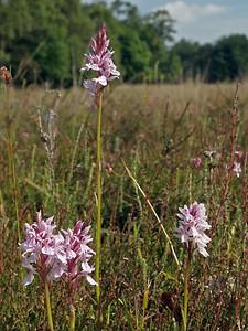 D  maculata var  ericetorum  Holtveenslenk DV 19-6-08 (1)