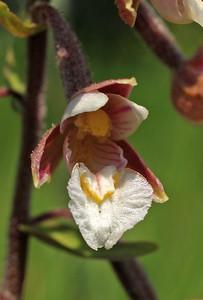 E  palustris KSB Havelte 1-7-08 (2)