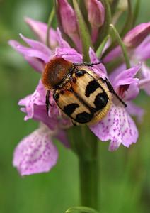 D  praetermissa ssp  praetermissa met penseelkever KSB Havelte 5-6-08 (17)