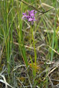 D  curvifolia Skedlo 20-07-17 (10)