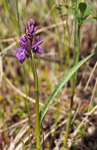 D  curvifolia Malsta 23-06-17 (26)