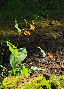 C  calceolus Boscodon 02-07-16 (57)