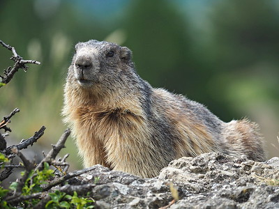Marmot Mont-Dauphin 05-07-16 (21)