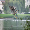 Black-Crowned Night Heron (adult)