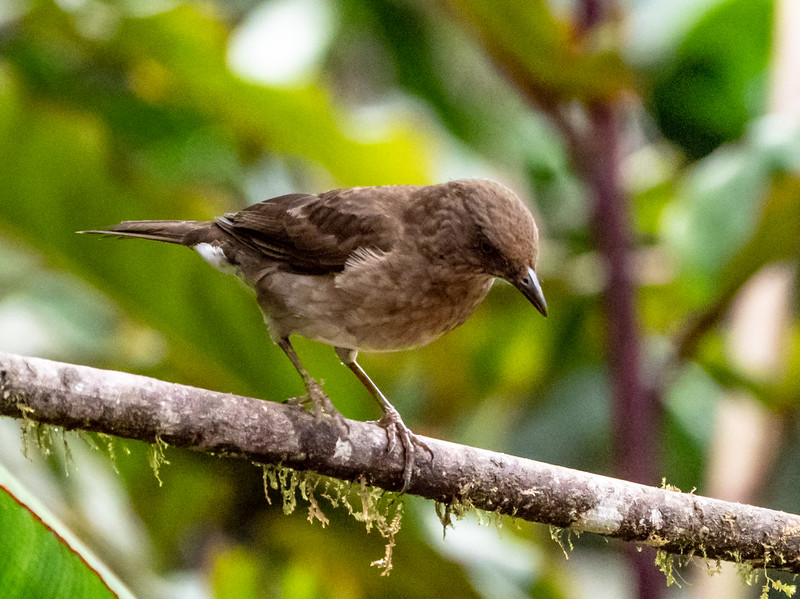Blackbilled Thrush