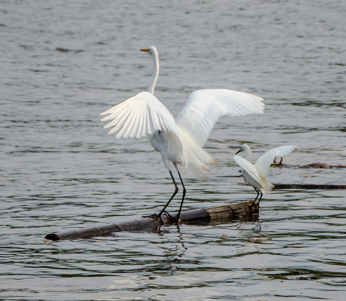 Great Egret and Snowy Egret