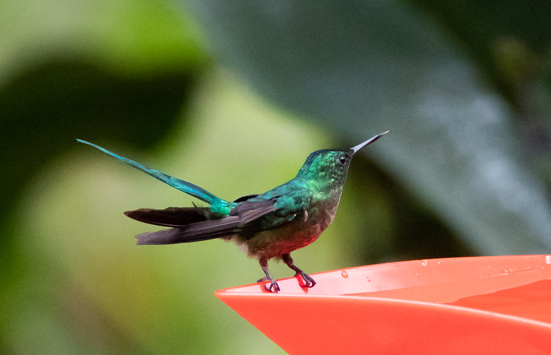 Steeley-vented Hummigbird