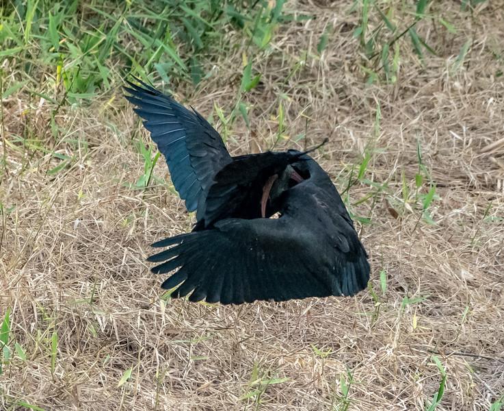 Bare-faced Ibis (2)