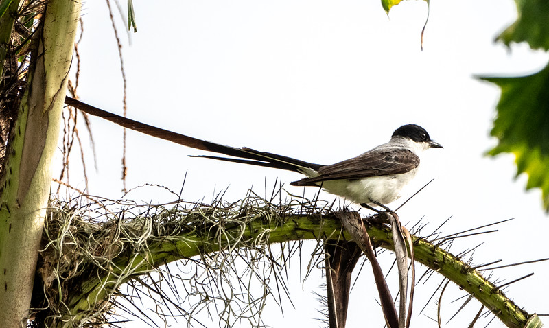 Forked-tail Flycatcher