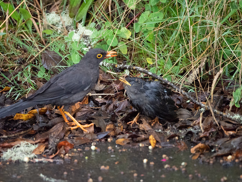 Great Thrush (with chick fallen from nest)