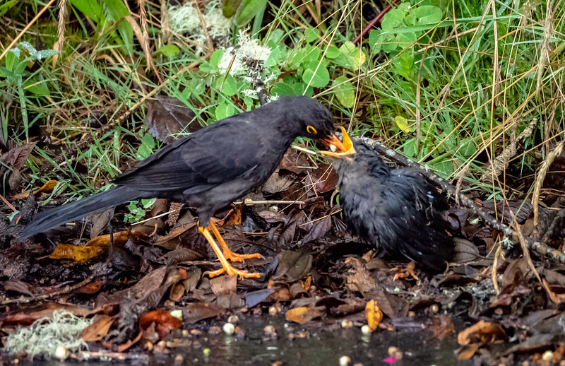 Great Thrush and Chick