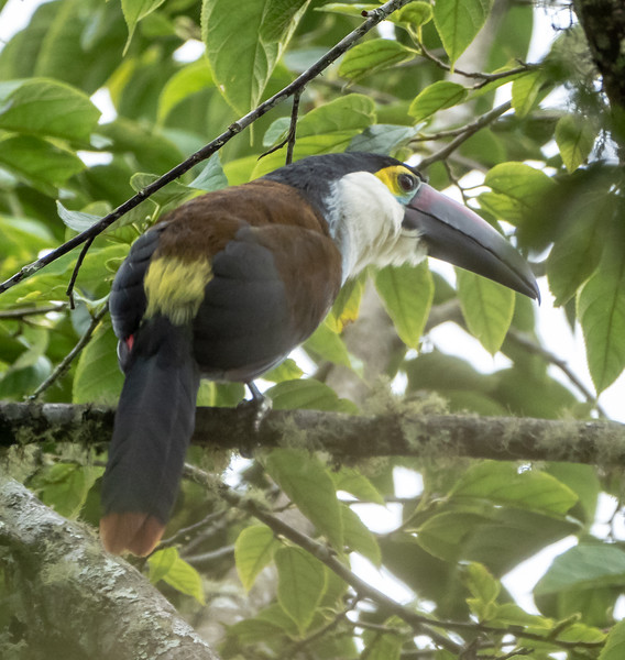Black-billed Mountain Toucan