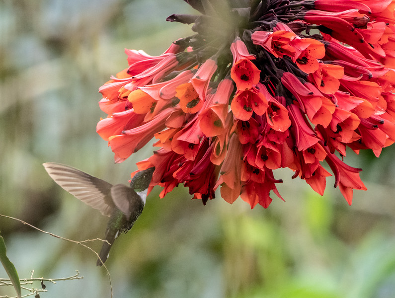 Rio Blanco Hummingbird