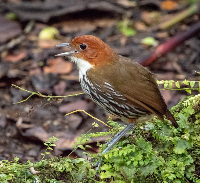 Chestnut_crowned Antpitta