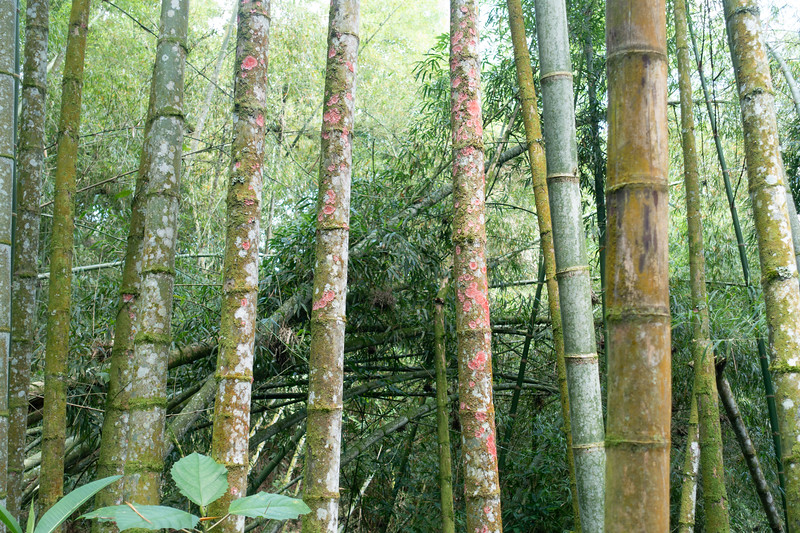 Bamboo on road to Tinamu Lodge
