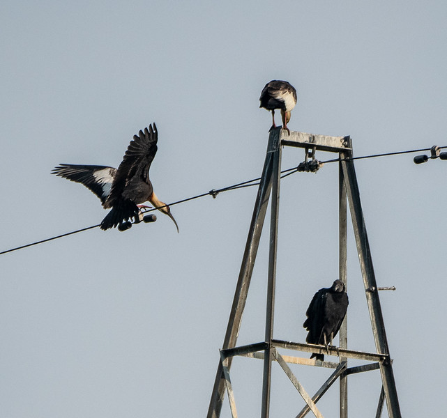 Buff-necked Ibis and Turkey Vulture